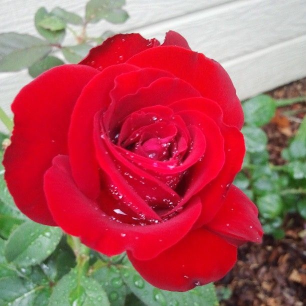 Weeks Roses Oh My Makes A Big Impression In Our Alabama Rose Garden Rosechat Weeks Roses Rose Flowers