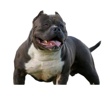 Perfil Do American Bully Bully Breeds Dogs Bully Dog Bully Breeds