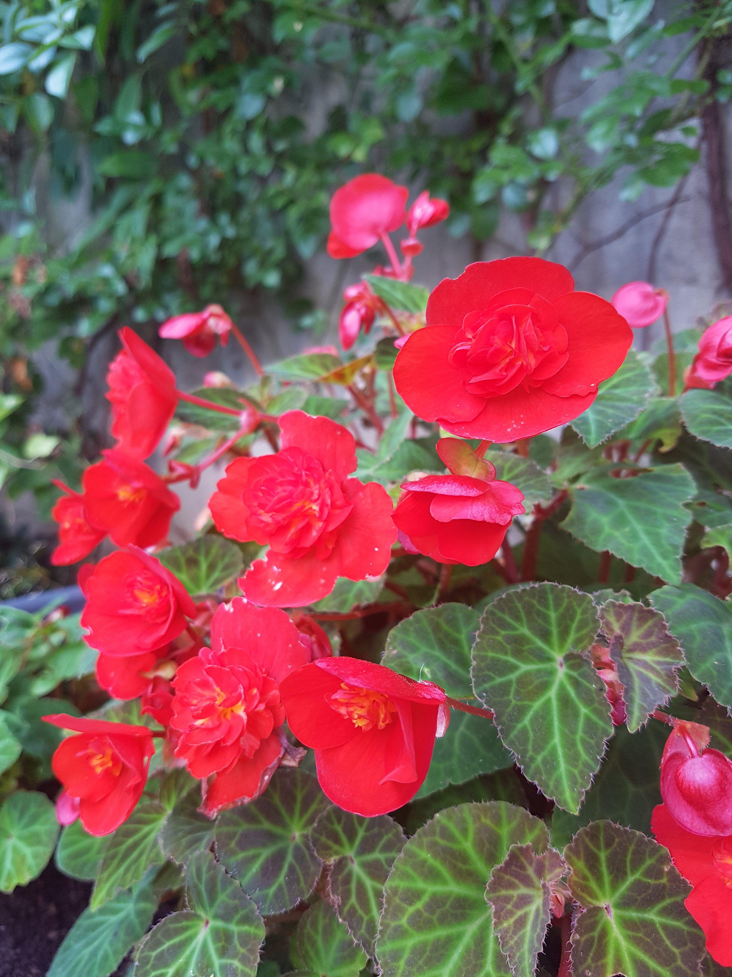 Begonia Knoller Med En Liten Vri For Utplanting Med Bilder Rode Blomster Planting Blomstring
