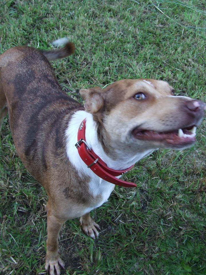 Australian Koolie Dog Photo Posey Working Breed X Koolie Female 3 Yo Sydney Nsw Koolie Dog Dog Photos Working Breeds