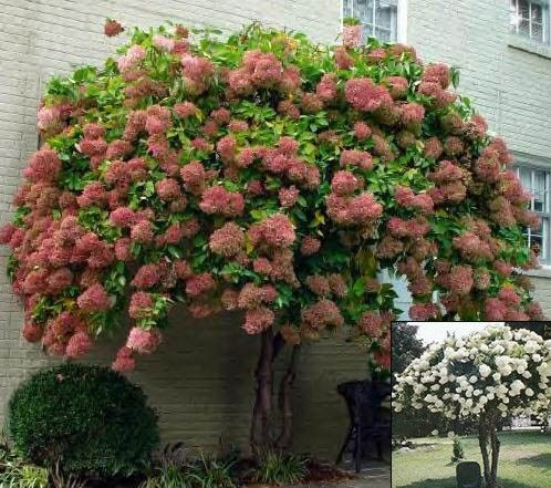 Quick Fire Hydrangea Tree Form (Bing Images) | blooms throughout ...
