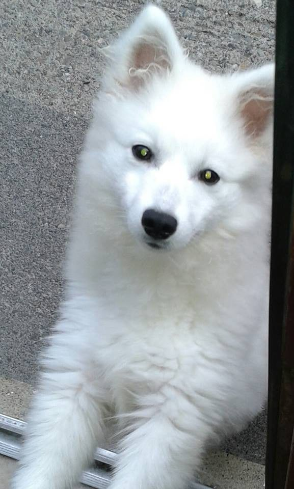 japanese spitz, Claudy Gumtree (With images) Japanese