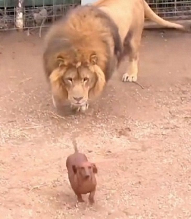 Tiny Wiener Dog And Massive Lion Come Face To Face Cute Funny