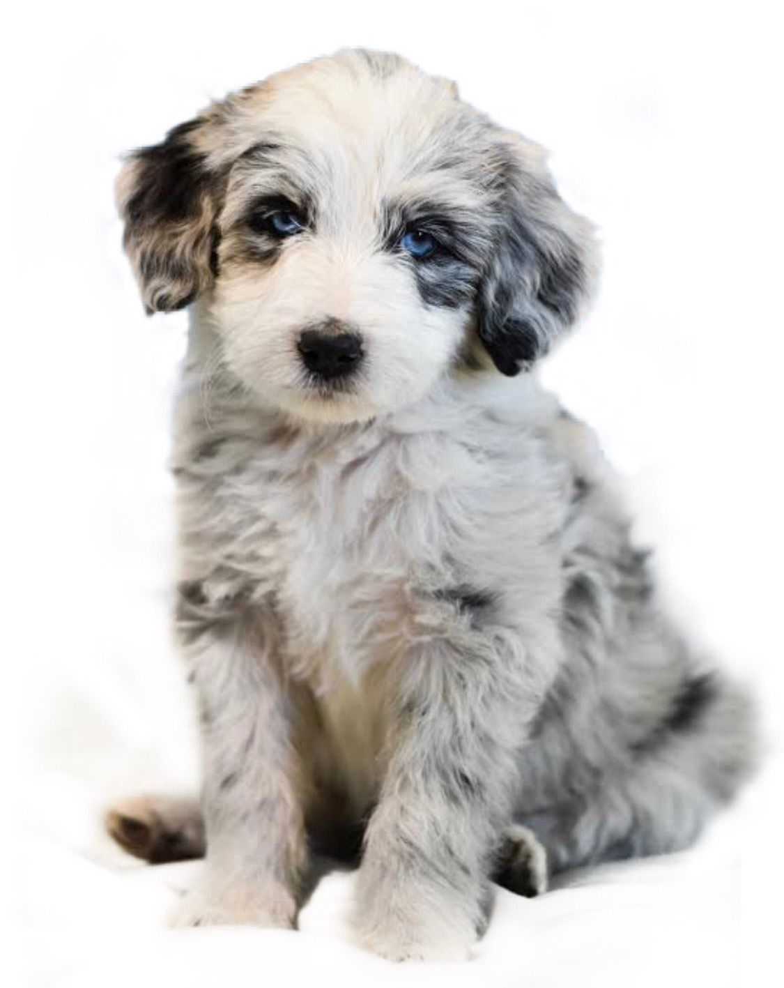 Bordoodle Cross Between A Border Collie And A Poodle With Unusual Blue Eyes Animal Antics Poodle Puppy Border Collie Cross Poodle