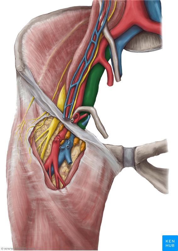 External Iliac Vein Muscle Vein Artery Nerve Pinterest Medicine