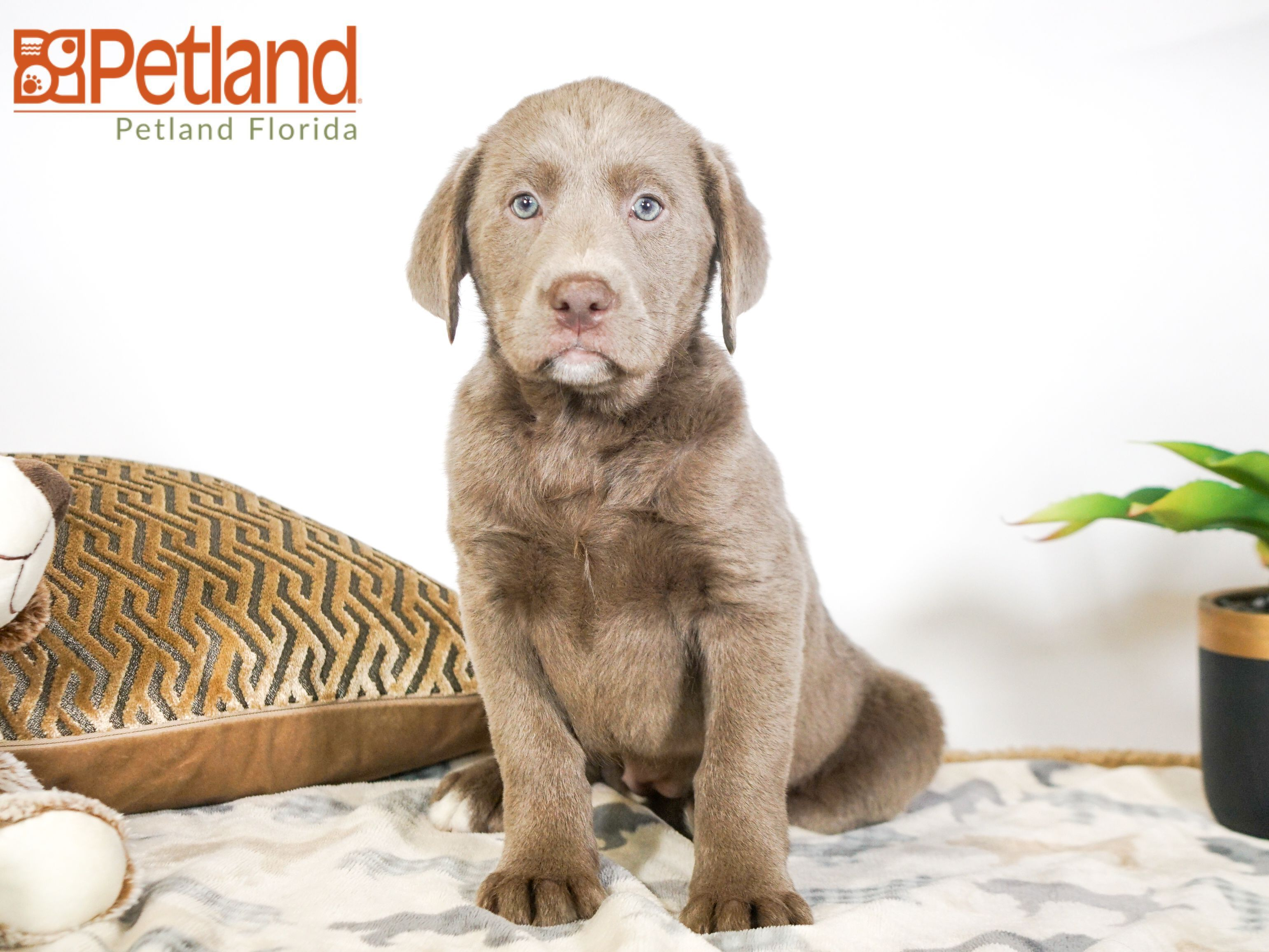 Puppies For Sale Labrador Retriever Puppies Dog Lovers