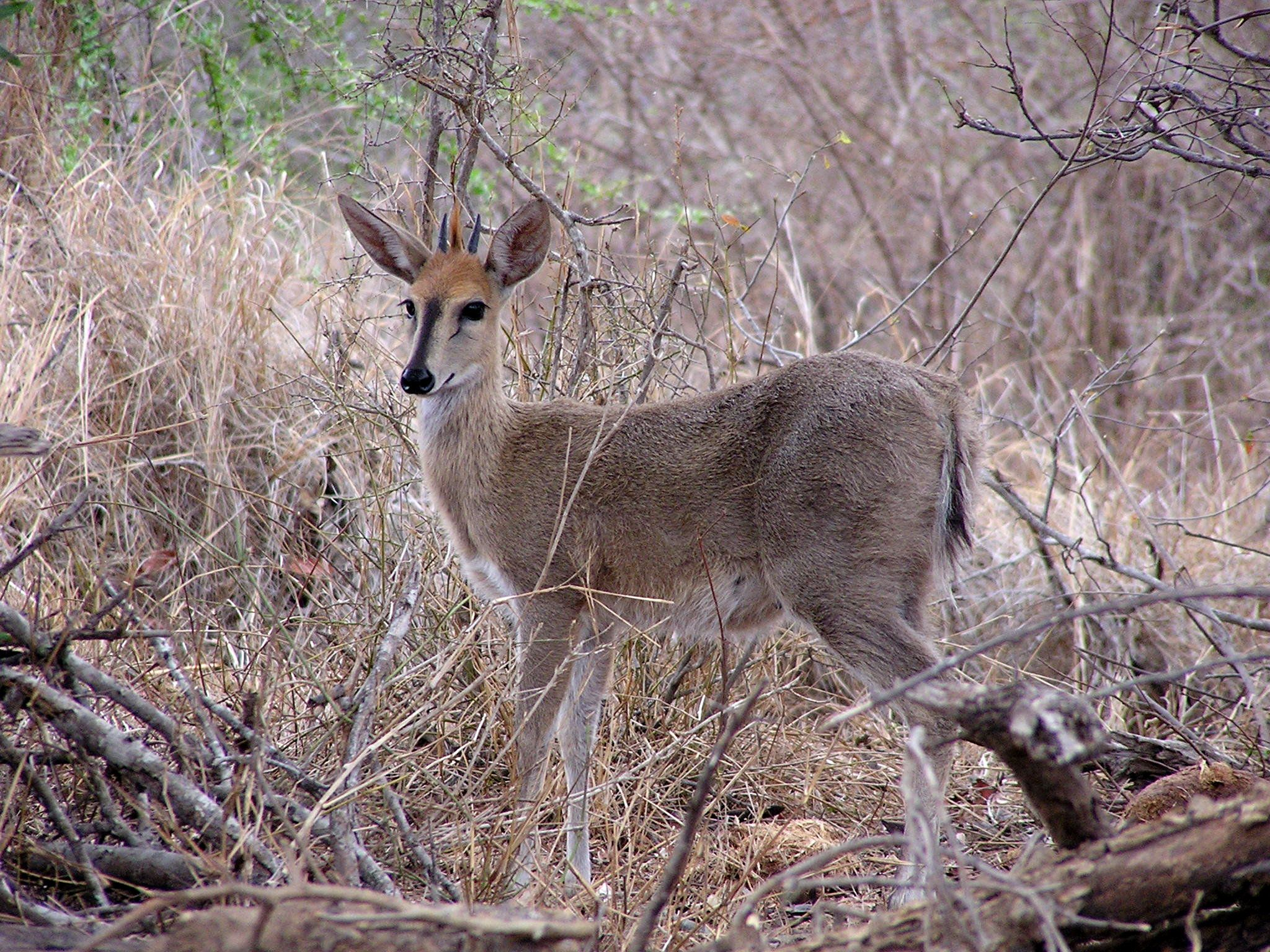 Sylvicapra grimmia  - Common Duiker -- Sighted: Phinda Private Game Reserve, ZA; etc.