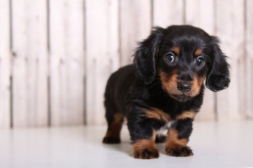Dachshund Puppy For Sale In Mount Vernon Oh Adn 32649 On