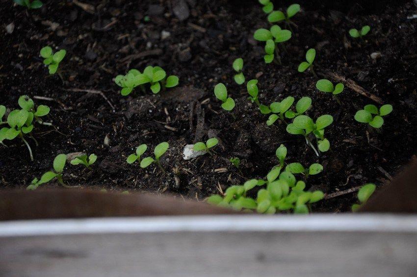Que Faire En Avril Au Potager Idee Jardinage Potager Et Pois