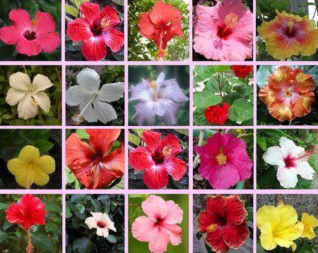 Growing Hibiscus Growing Hibiscus Hibiscus Plant Hibiscus Rosa Sinensis