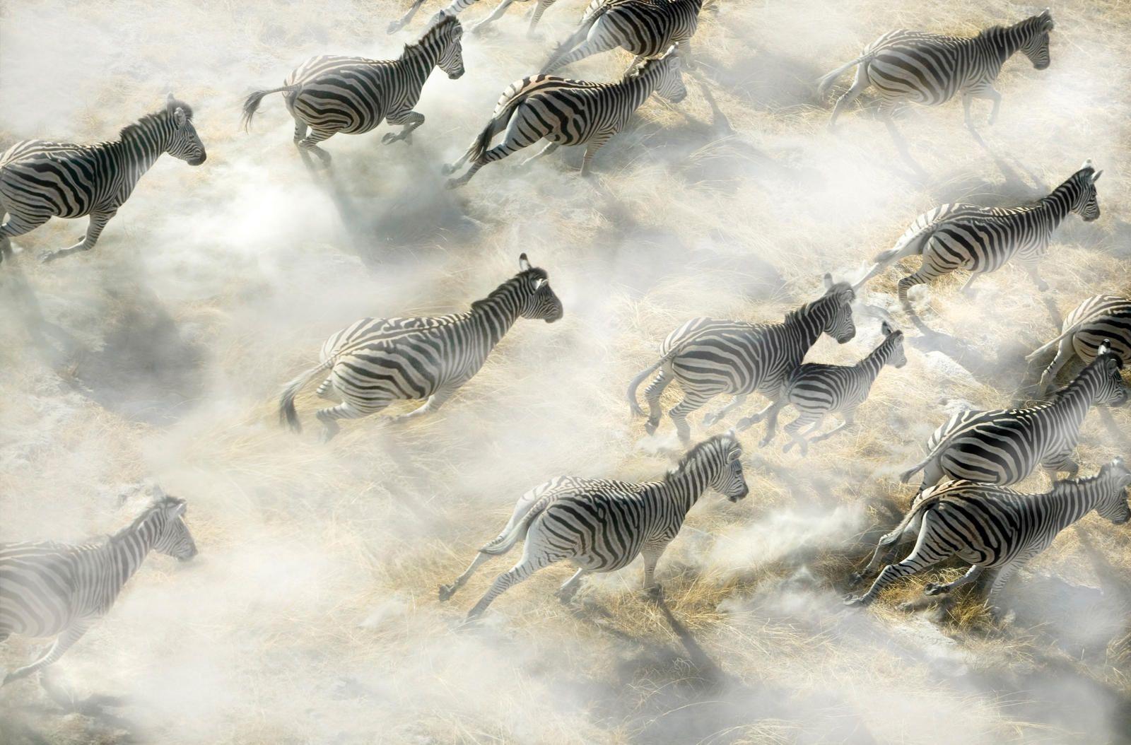 Zebras on the Move [1600  1054] - http://ift.tt/2hT7XXZ
