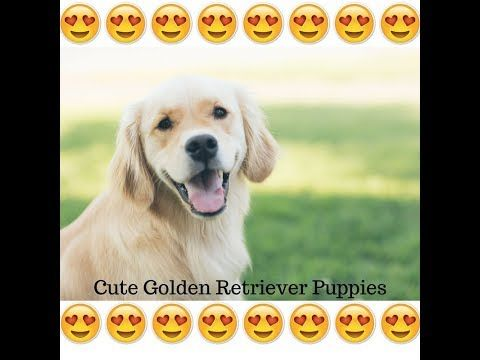 Susse Golden Retriever Welpen Video Oktober 2017 New Vol 1 Hd Youtube Hunde Erziehung Hundebaby Welpen Dog Pupp Golden Retriever Retriever Retriever Puppy