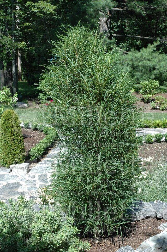 rhamnus fine line buckthorn excellent accent shrub for. Black Bedroom Furniture Sets. Home Design Ideas