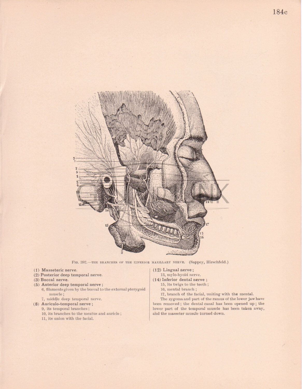Antique Anatomy illustration of the Human Facial nerves and skull ...