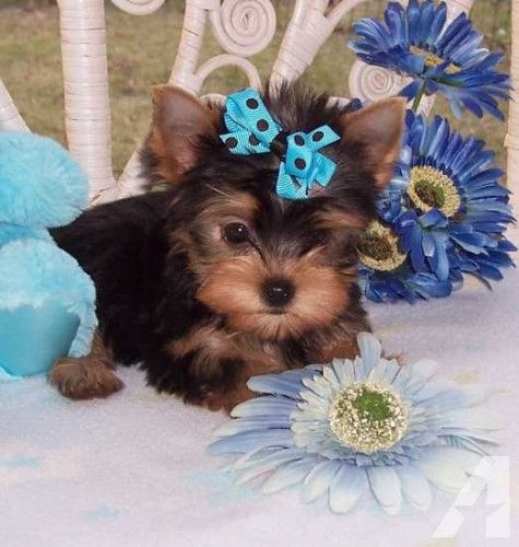 We Have A Litter Of Extra Tiny Teacup Tiny Toy Yorkies Available Yorkie Puppy Yorkie Teacup Yorkie Puppy
