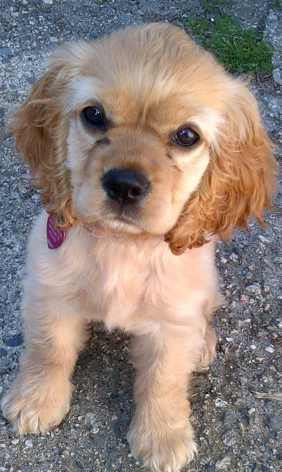Photos Cocker Spaniel Puppies Cocker Spaniel Dog Cheapest Dog Breeds