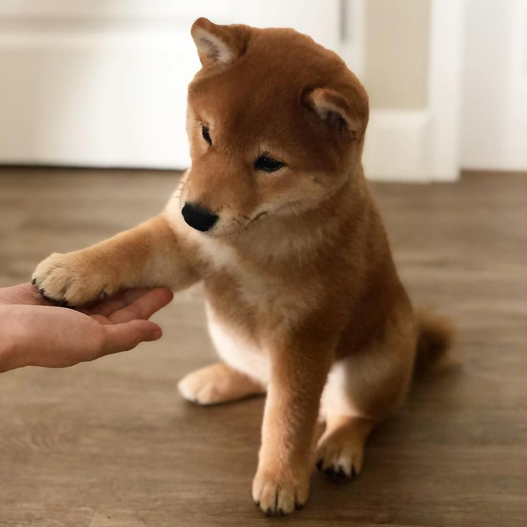 The Daily Shiba Inu On Instagram Repost Of Monkishiba Learning More Tricks This Time It S Paw Or Shake Puppy Breeds Shiba Inu Cute Dogs
