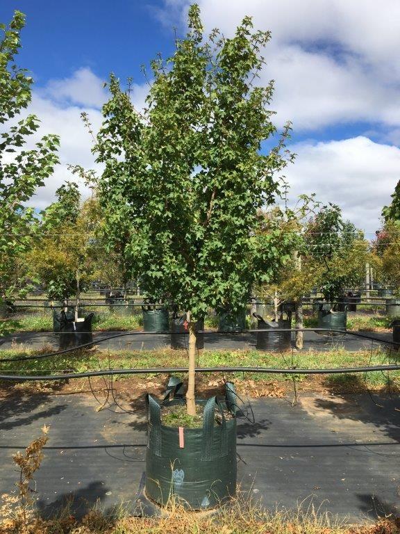 acer campestre 39 elsrijk 39 mt eliza woodland house planting species pinterest. Black Bedroom Furniture Sets. Home Design Ideas