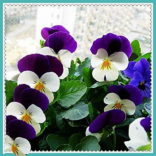 New Rare Hierloom So Colorful Homes 30 Small Flower Pansy Flower Seeds Cold Resistant Different Attitude A169