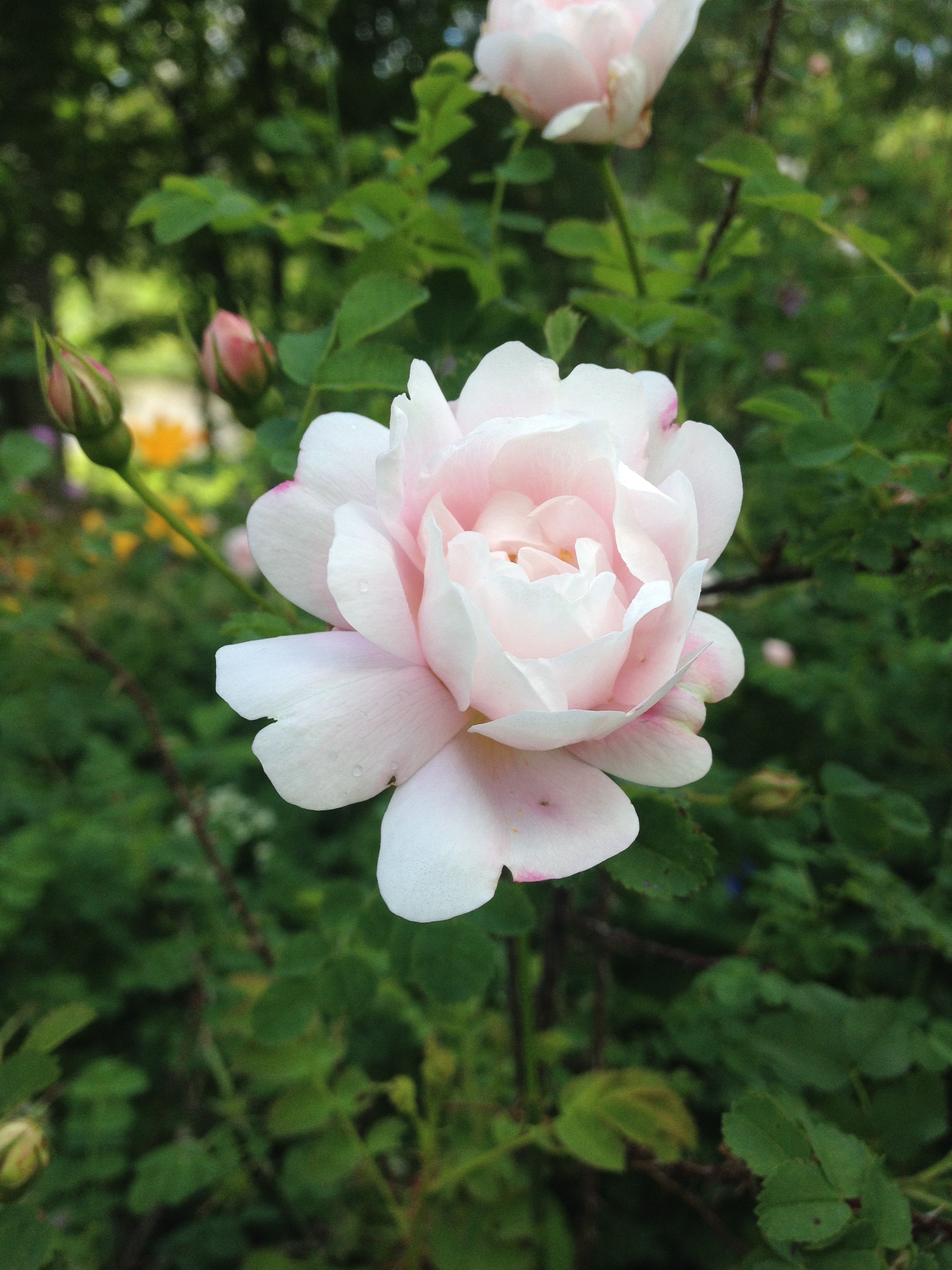 Tiarella cordifolia a way to garden - An Old Rose Art In My Garden Vaaleanpunainen Juhannusruusu Vanha Lajike