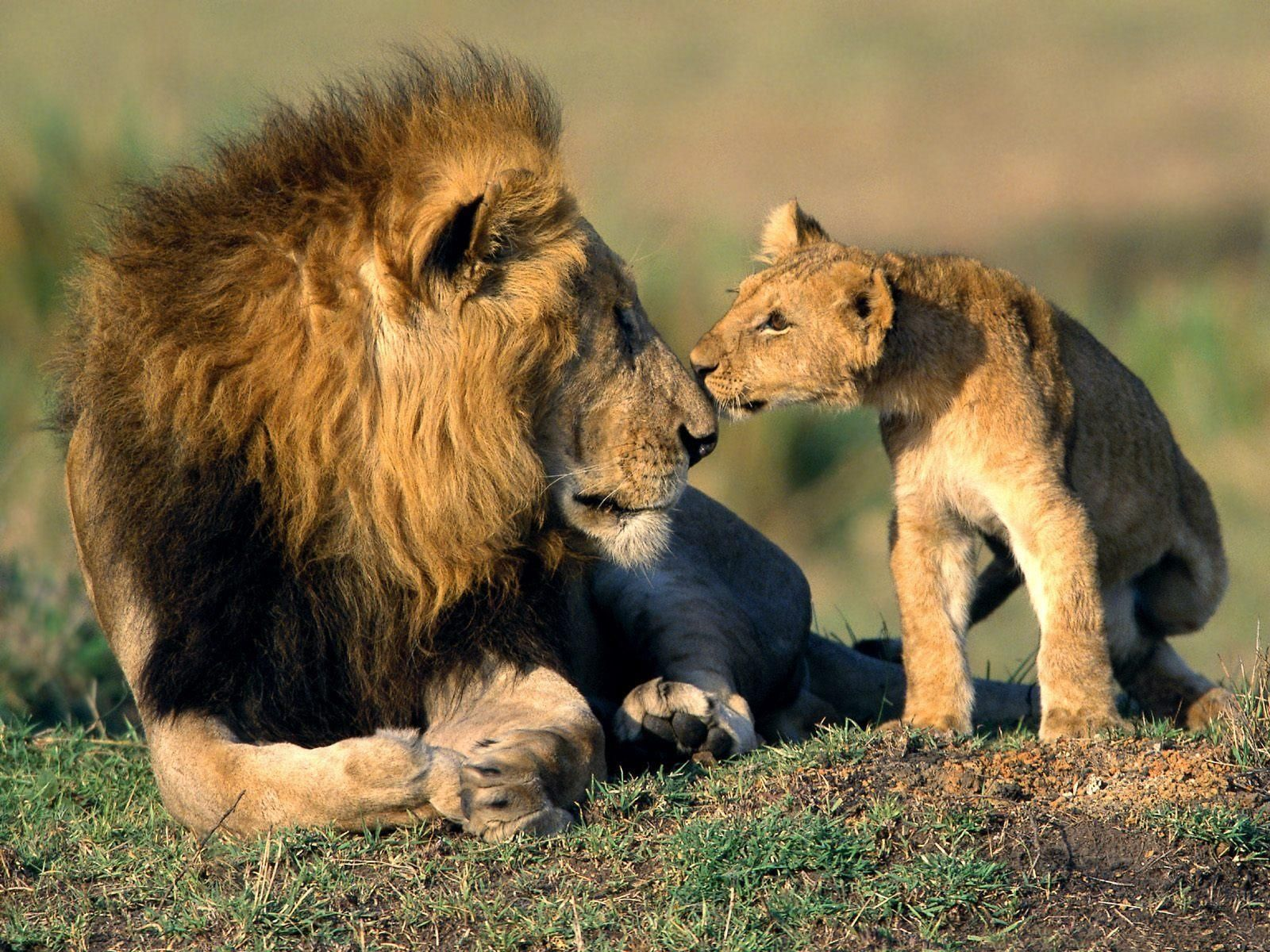 National Geographic African Lions Fighting Documentary