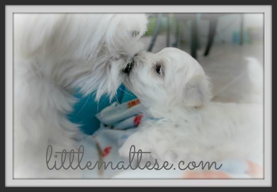 Little Maltese Puppy 3 Kisses Malteser Bilder