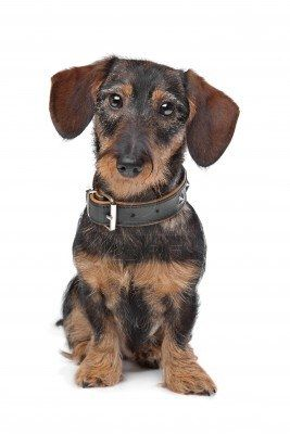 Stock Photo Wire Haired Dachshund Dachshund Dachshund Love