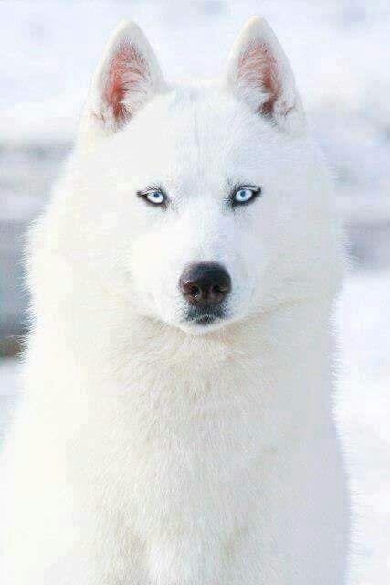 Lupo Bianco Animals Hunde Niedliche Hunde E Husky Hund