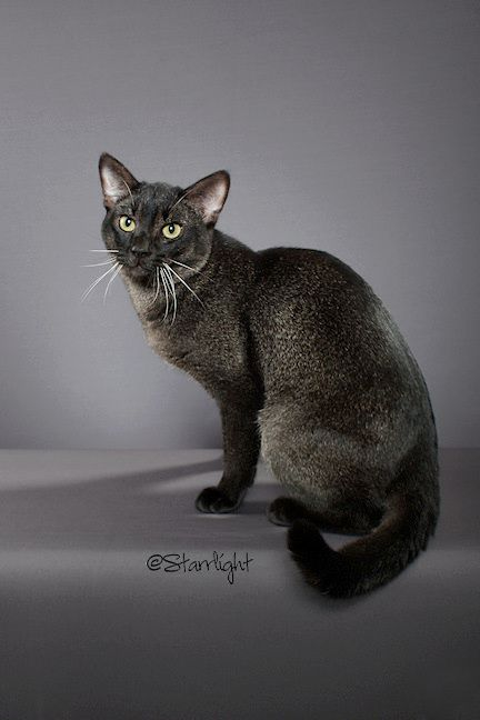 Chausie Cat Black Grizzled Tabby Hybrid Of Domestic And Jungle