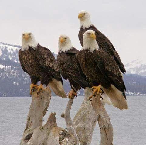 Beautiful Bald Eagles