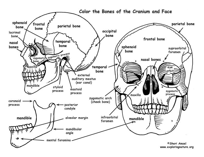 Cat In The Hat Coloring Pages Skull Coloring Pages Anatomy