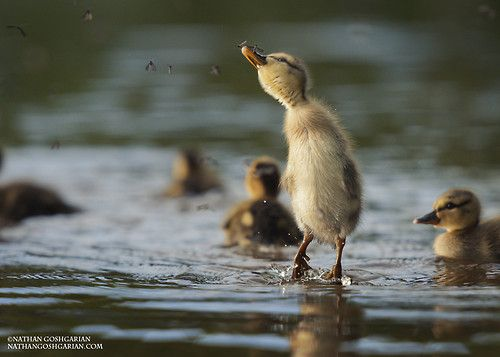 (via 500px / Duckling Goes Flyfishing by Nathan Goshgarian)
