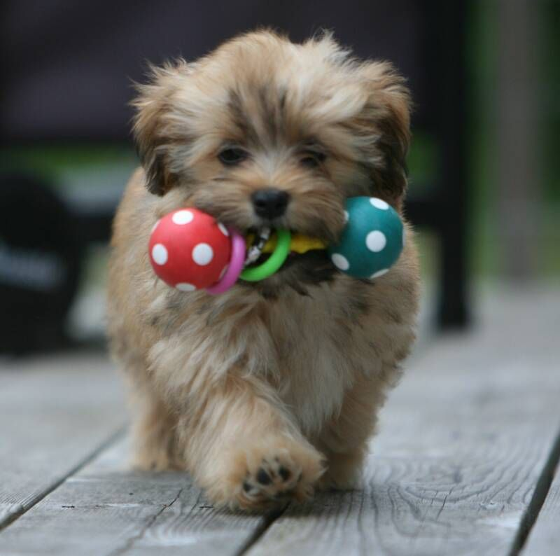 Pin By Annie Herbertson On Love Havanese Puppies Puppies Pets
