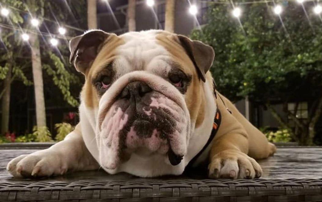 Bulldog Calm Courageous And Friendly English Bulldog Bulldog