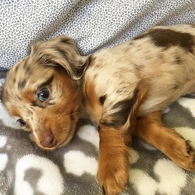 Pin By Devin Brooks On My Heart In 2020 Dachshund Breed