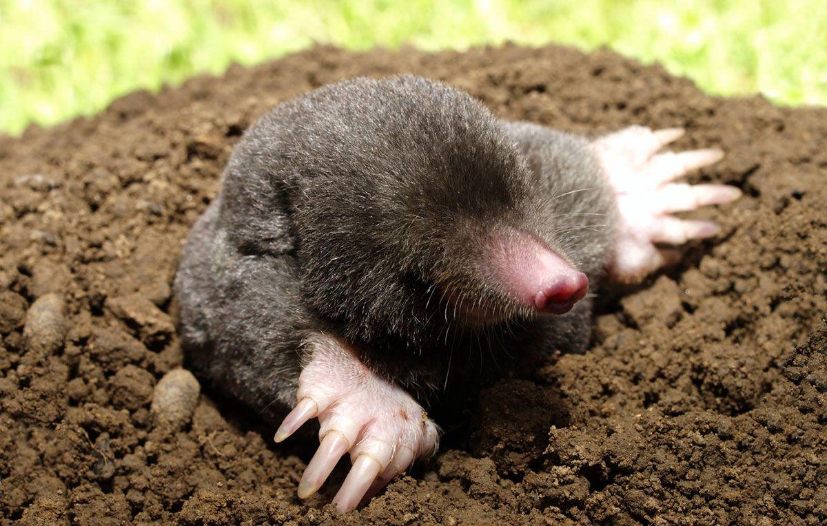 Where Do Moles Go In The Winter Time Pest Control Pest Control Services Insect Control