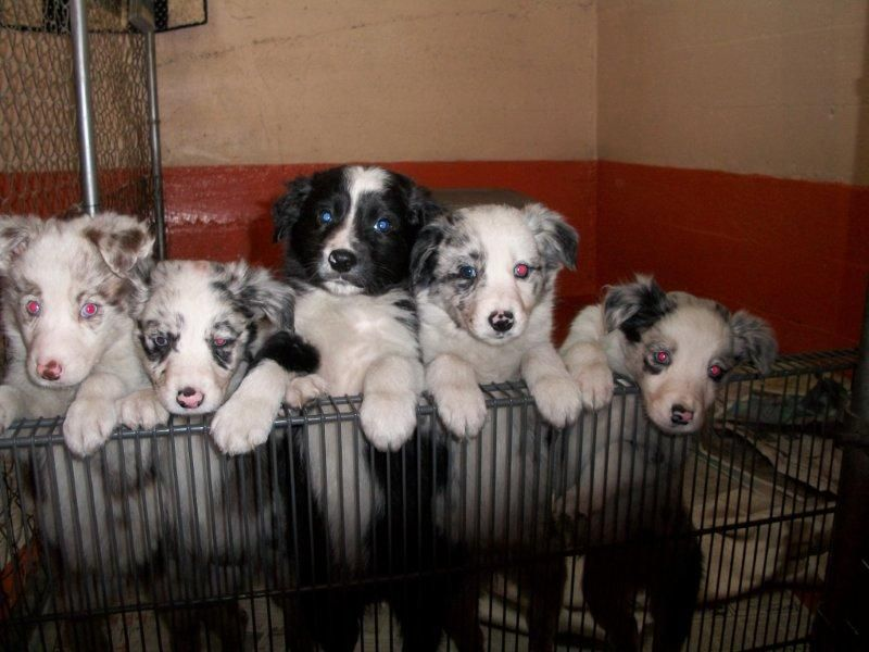 Border Collies Illinois Collie Puppies Rough Collie Collie