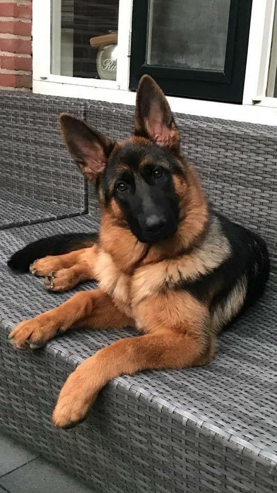 Adopting A German Shepherd Dog From An Animal Shelter German