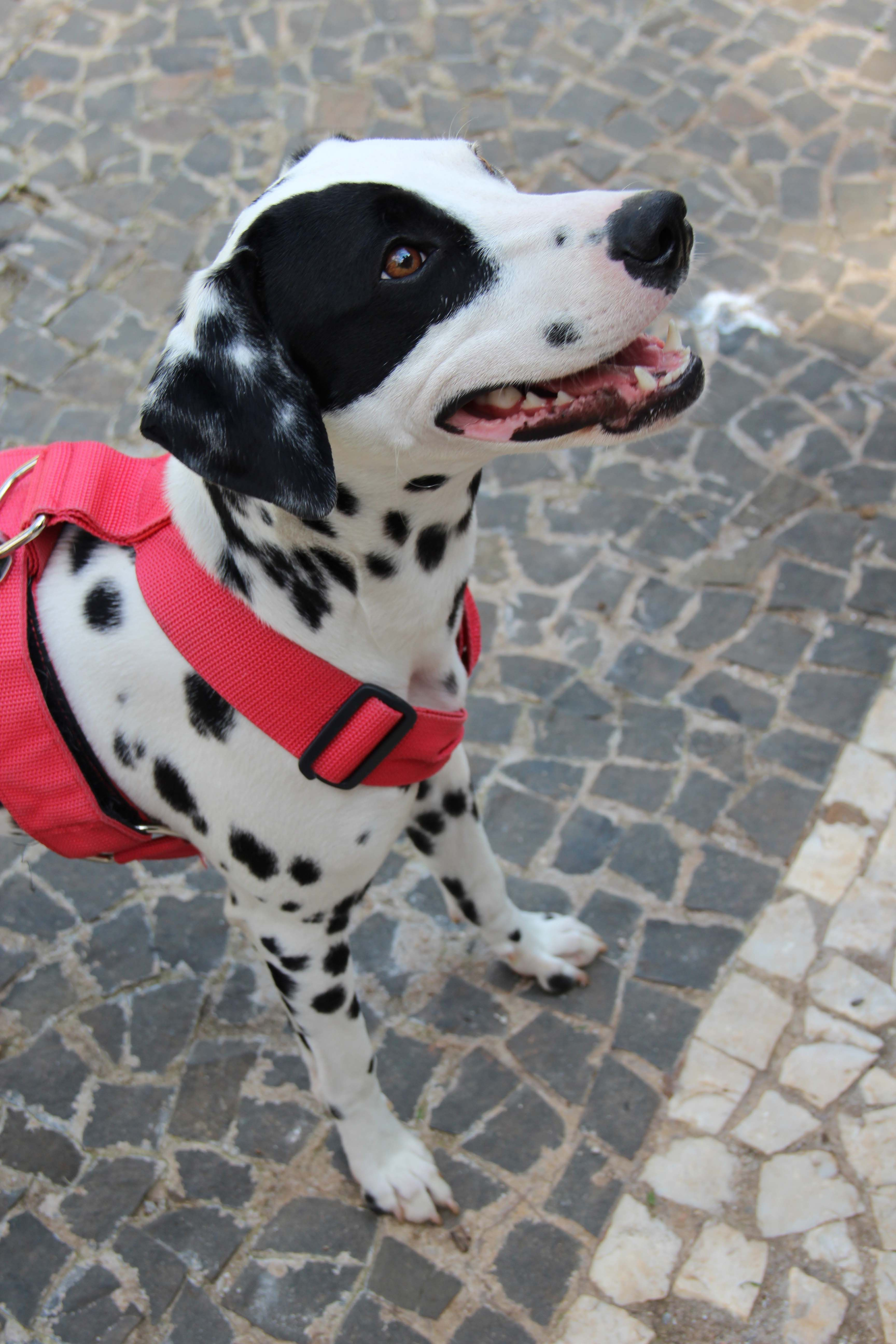 Dalmatian Dogs Pet Frida By Kimmie Lima Large Dog Breeds
