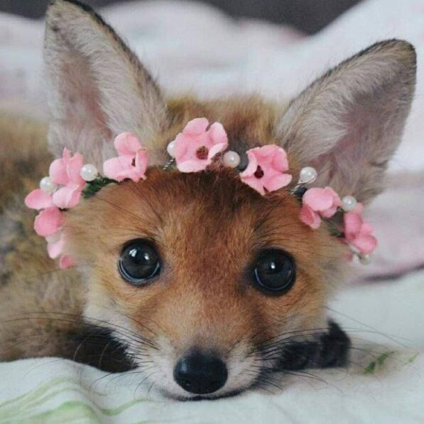 Foxes Foxes Https Ift Tt 2svri7e Animals Beautiful Cute Baby Animals Pet Fox
