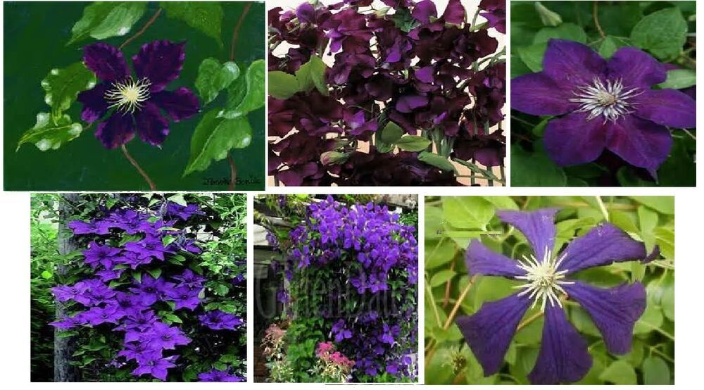 Desmanthus illinoensis 50 seeds Great Quality // Homegrown
