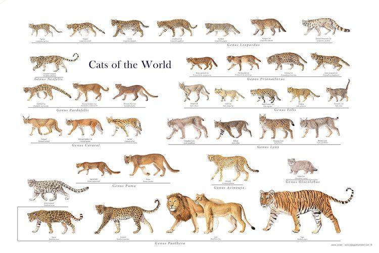 Wild Cat Posters Wild Cat Family Wild Cats Small Wild Cats Animals