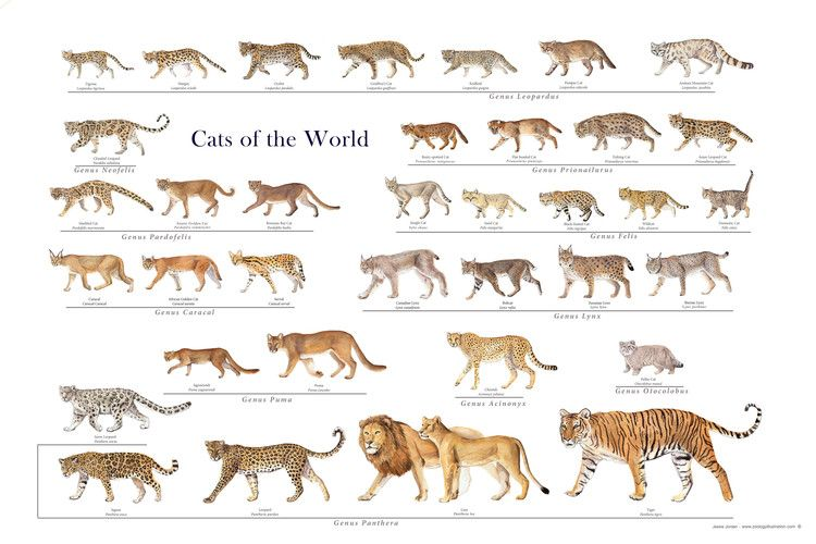Wild Cat Posters Wild Cat Family Wild Cats Animals Small Wild Cats