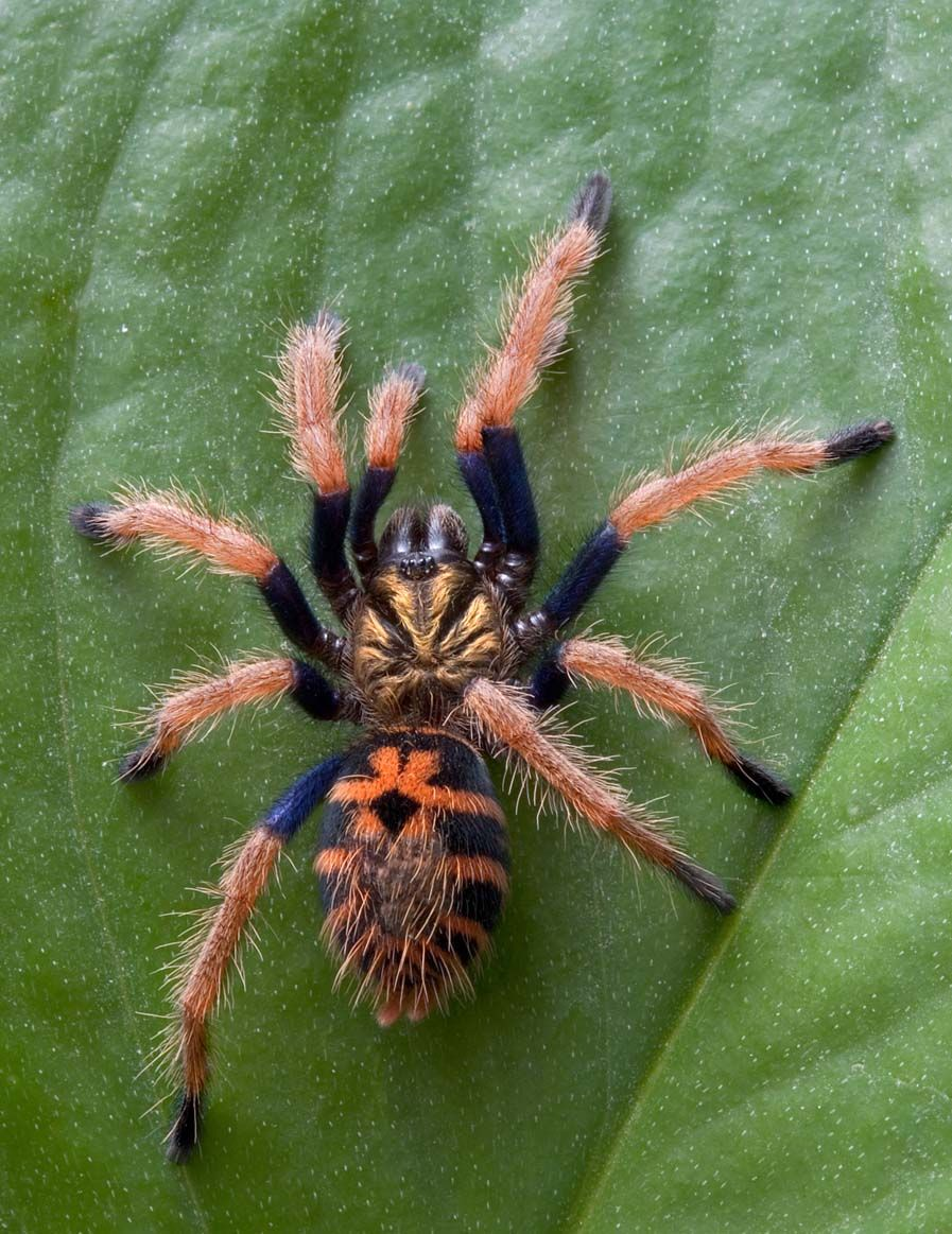 Immature (spiderling) Chromatopelma cyaneopubescens | Big ...