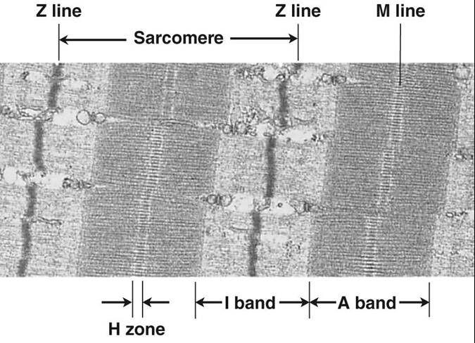 sarcomere anatomys questions neuros social