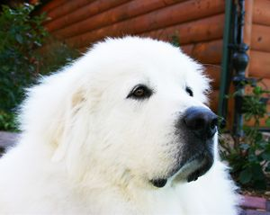 Warm Fuzzy Salute Great Pyrenees Dog Great Pyrenees Pyrenees
