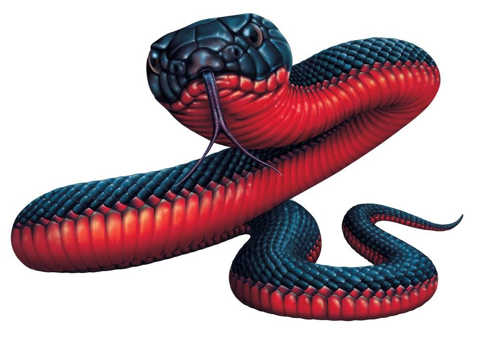 Search Results For Red Bellied Black Snake Pseudechis Porphyriacus Black Snake Tattoo Monkey Stickers Snake