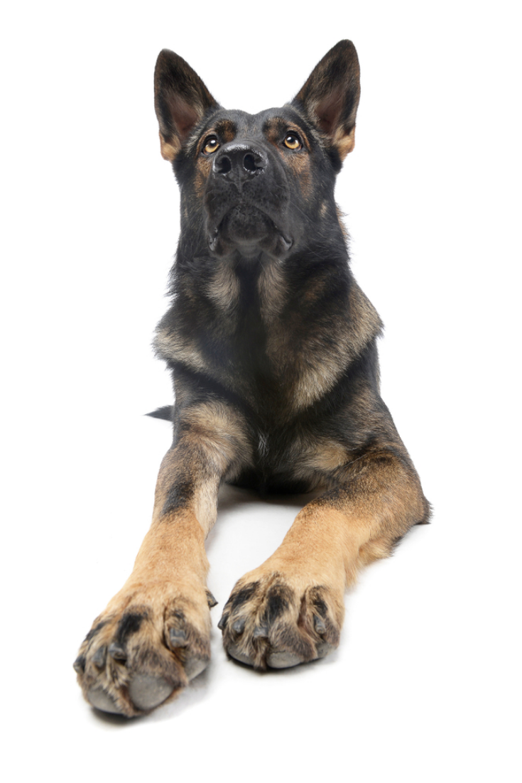Studio Shot Of An Adorable German Shepherd Dog Looking Up Curiously Isolated On White Back German Shepherd Dogs German Shepherd Mom German Shepherd Mom Shirt