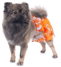 Bahamas Dog Swim Trunks Orange Male Dog Swim Suit By Pooch