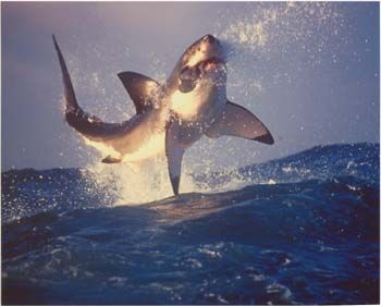 Great Whites can fly!